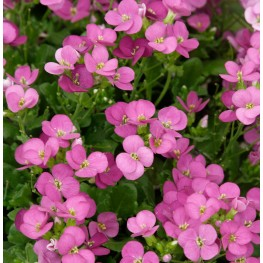 Arabis caucasica Little Treasure Deep Rose Gęsiówka kaukaska Little Trasure Deep Rose