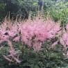 Astilbe simplicifolia Hennie Graafland Tawułka pojedynczolistna