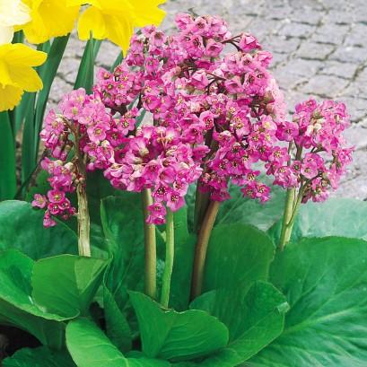 Bergenia cordifolia Bergenia sercolistna