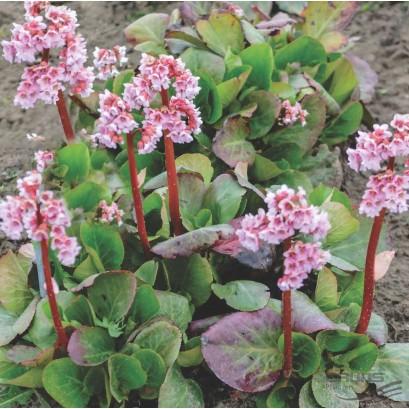 Bergenia cordifolia Baby Doll Bergenia sercolistna