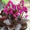 Bergenia cordifolia Eroica Bergenia sercolistna