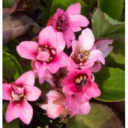 Bergenia cordifolia Flirt Bergenia