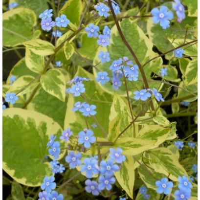 Brunera macrophylla Hadsean Cream Brunnera wielkolistna