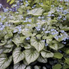 Brunnera macrophylla Jack Frost Brunnera wielkolistna
