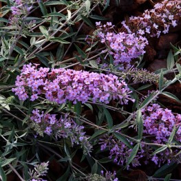 Buddleja Davidii Petite Lavender Budleja