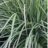 Calamagrostis acutiflora Avalanche Trzcinnik ostrokwiatowy