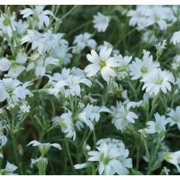 Cerastium tomentosum Rogownica kuterowata