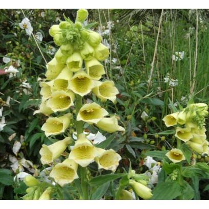 Digitalis grandiflora Naprastnica zwyczajna
