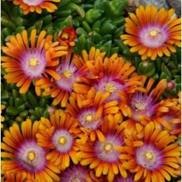 Delosperma Sundella Orange Słonecznica