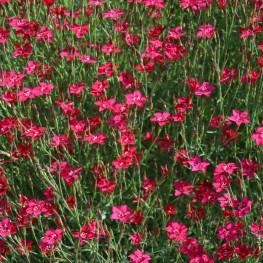Dianthus deltoids Brillant Goździk kropkowany
