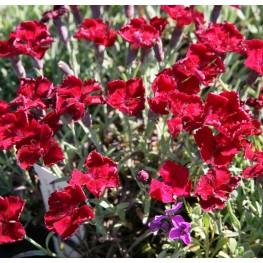 Dianthus gratianopolitanus Rubin Goździk siny