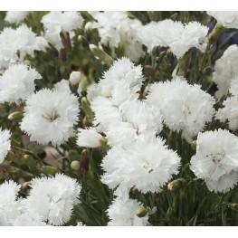 Dianthus plumarius Double White Goździk