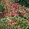 Epimedium rubrum Epimedium czerwone