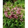 Epimedium youngianum Roseum Epimedium