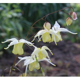 Epimedium Flowers of Sulphur Epimedium