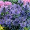 Eryngium alpinum Blue Star Mikołajek alpejski