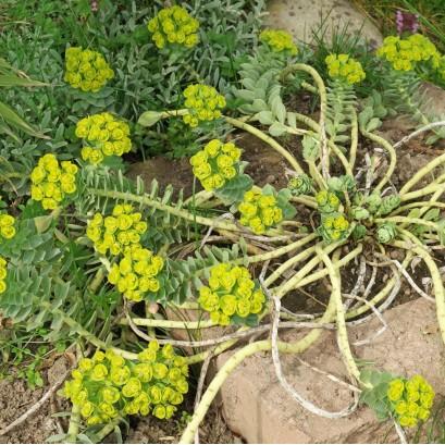 Euphorbia myrsinites Wilczomlecz mirtowaty
