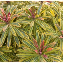 Euphorbia Ascot Rainbow Wilczomlecz