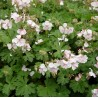 Geranium cantabrigense Biocovo Bodziszek kantabryjski