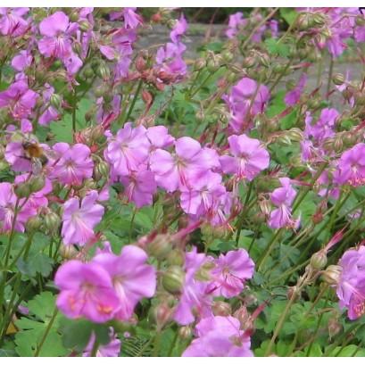 Geranium cantabrigense Berggarten Bodziszek kantabryjski