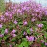 Geranium cantabrigense Cambridge Bodziszek kantabryjski