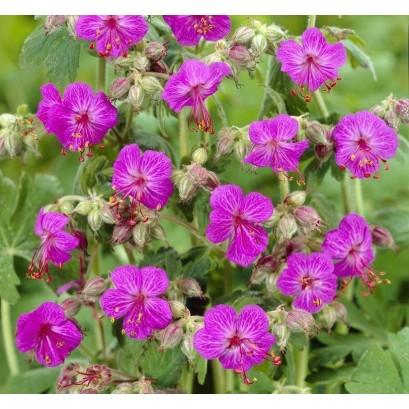 Geranium macrorrhizum Bevan's Variety Bodziszek korzeniasty