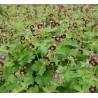 Geranium phaeum Bodziszek żałobny