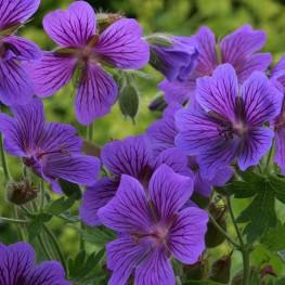 Geranium magnificum Rosemoor Bodziszek wspaniały
