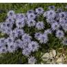 Globularia cordifolia Kulnik sercolistny