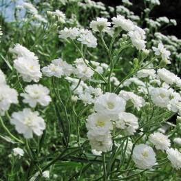 Gypsophila paniculata 'Snowflake'-Łyszczec wiechowaty