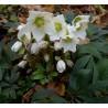 Helleborus niger Ciemiernik biały
