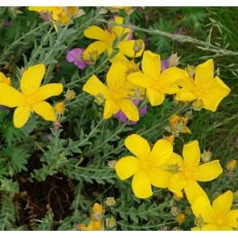 Hypericum polyphyllum Grandiflorum Dziurawiec wielolistny