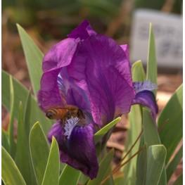 Iris pumila Atroviolacea Kosaciec niski