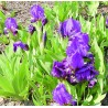 Iris pumila Cyanea Kosaciec niski