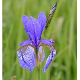 Iris sibirica Kosaciec syberyjski