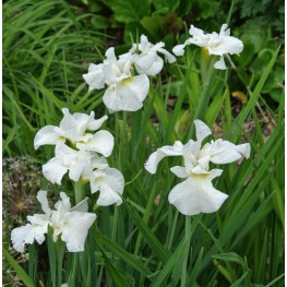 Iris sibirica Gull's Wing Kosaciec syberyjski