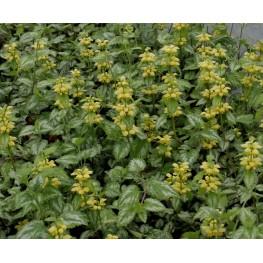 Lamium maculatum Golden Anniversary Jasnota plamista