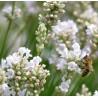 Lavandula angustifolia Alba Lawenda wąskolistna