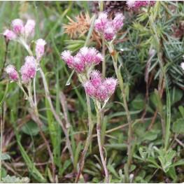 Antennaria dioica Ukwap dwupienny