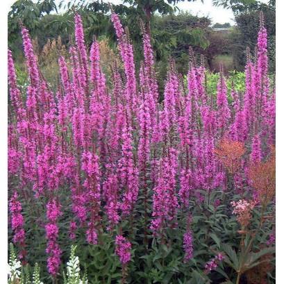 Lythrum salicaria Rosy Gem Krwawnica pospolita