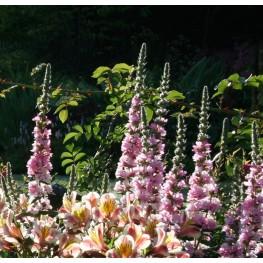 Lythrum salicaria Blush -Krwawnica pospolita