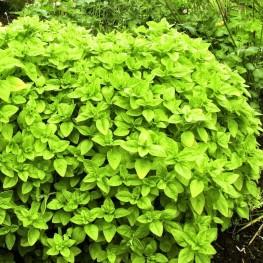 Origanum vulgare Aureum Oregano złote