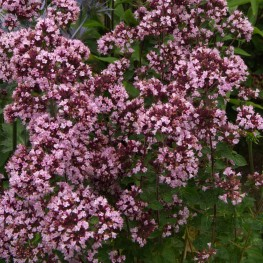 Origanum Gentle Breeze Lebiodka