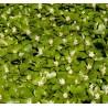 Pachysandra terminalis Green Carpet Runianka japońska