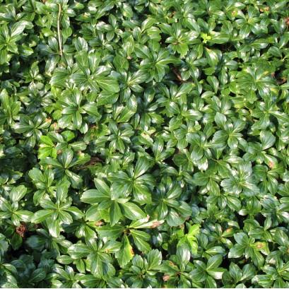 Pachysandra terminalis Green Sheen Runianka japońska