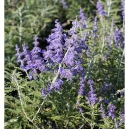 Perovskia atriplicifolia Lacey Blue