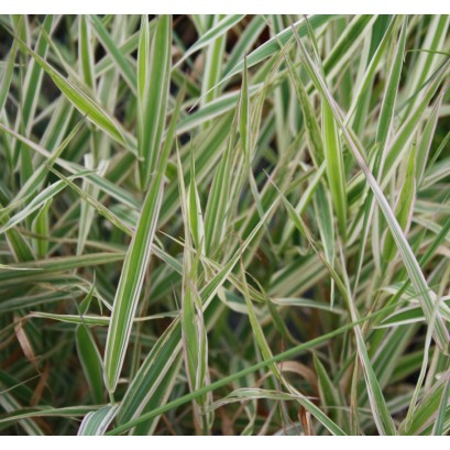 arundinacea Tricolor