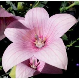 Platycodon grandiflorus Fuji Pink Rozwar wielkokwiatowy