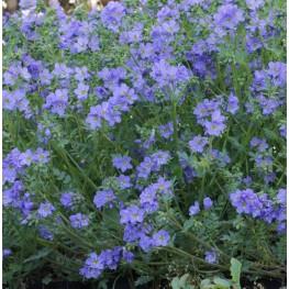 Polemonium Reptans Blue Pearl Wielosił rozesłany