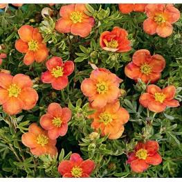 Potentilla Fruticosa Hoopleys Orange Pięciornik Krzewiasty